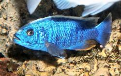 Sciaenochromis fryeri - Click for species data page