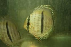 Symphysodon discus - Click for species data page