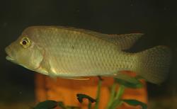 Thoracochromis demeusii - Click for species data page