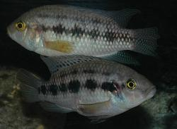 Thysochromis ansorgii - Click for species data page