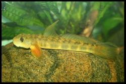 Sicyopterus griseus - Click for species data page