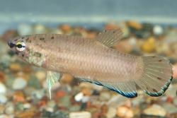 Betta simplex - Click for species data page