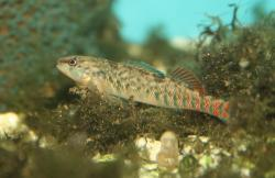 Etheostoma caeruleum - Click for species data page