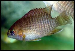 Pristolepis marginata - Click for species data page