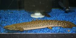Polypterus ornatipinnis - Click for species data page