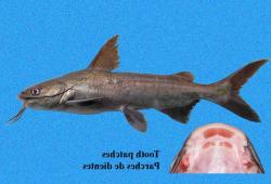 Cathorops dasycephalus - Click for species data page