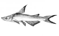 Doiichthys novaeguineae - Click for species data page