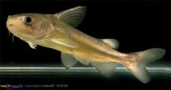 Ketengus typus - Click for species data page