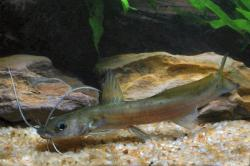 Hemibagrus macropterus - Click for species data page
