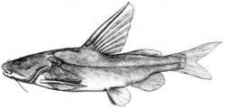 Rita macracanthus - Click for species data page