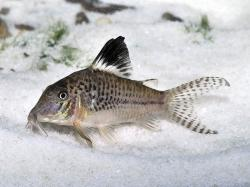 Corydoras(ln1) acutus - Click for species page