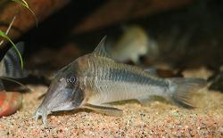 Corydoras(ln1) amapaensis - Click for species page