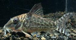 Corydoras(ln1) blochi - Click for species page