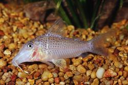 Corydoras(ln1) cervinus - Click for species page
