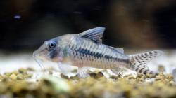 Corydoras(ln1) cortesi - Click for species page