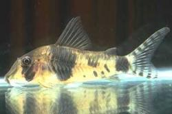 Corydoras(ln1) desana - Click for species page