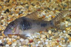 Corydoras(ln1) ellisae - Click for species page
