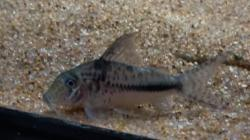 Corydoras(ln1) filamentosus - Click for species page
