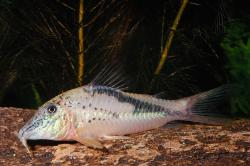 Corydoras(ln1) fowleri - Click for species page