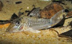 Corydoras(ln1) geoffroy - Click for species page