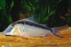 Corydoras(ln1) narcissus - Click for species page