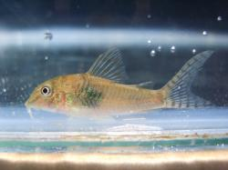 Corydoras(ln1) negro - Click for species page
