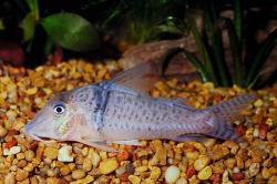 Corydoras(ln1) pastazensis - Click for species page
