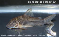 Corydoras(ln1) sarareensis - Click for species page