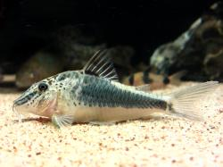 Corydoras(ln1) semiaquilus - Click for species page