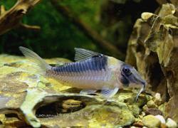 Corydoras(ln1) serratus - Click for species page