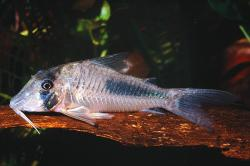 Corydoras(ln1) solox - Click for species page