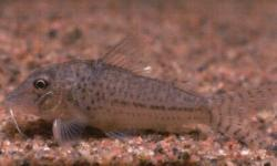 Corydoras(ln1) sp. (C024) - Click for species page