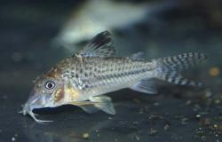Corydoras(ln1) sp. (C042) - Click for species page