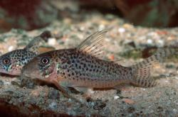 Corydoras(ln1) sp. (C047) - Click for species page