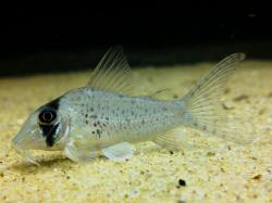 Corydoras(ln1) sp. (C053) - Click for species page
