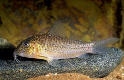 Corydoras(ln1) sp. (C094) - Click for species page