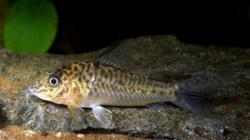 Corydoras(ln1) sp. (C095) - Click for species page