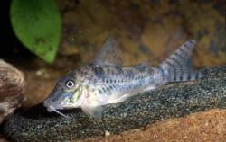 Corydoras(ln1) sp. (C099) - Click for species page