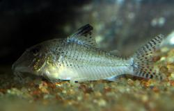 Corydoras(ln1) sp. (C109) - Click for species page