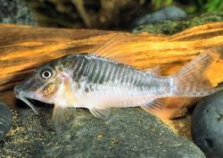 Corydoras(ln1) sp. (C127) - Click for species page