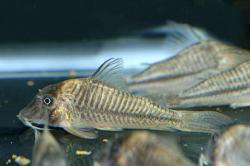 Corydoras(ln1) sp. (C145) - Click for species page