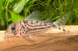 Corydoras(ln1) sp. (C155) - Click for species page