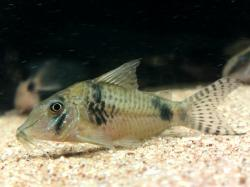 Corydoras(ln1) sp. (Cw012) - Click for species page
