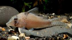 Corydoras(ln1) sp. (Cw053) - Click for species page