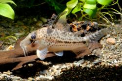 Corydoras(ln1) sp. (Cw055) - Click for species page