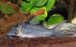 Corydoras(ln1) sp. (Cw059) - Click for species page