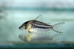 Corydoras(ln1) sp. (Cw066) - Click for species page