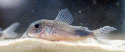 Corydoras(ln1) sp. (Cw118) - Click for species page