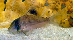 Corydoras(ln1) sp. (Cw121) - Click for species page