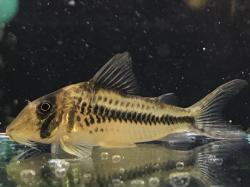 Corydoras(ln1) sp. (Cw149) - Click for species page